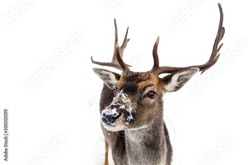 Beautiful deer in heavy winter. Canvas Print