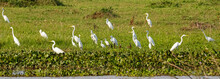 Panorama Of Great White Egrets...