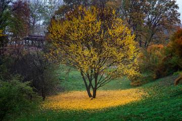 Fototapeta Drzewa Beautiful autumn tree with fallen yellow leaves around.