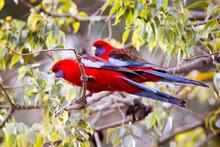 Crimson Rosella In An Australian Garden