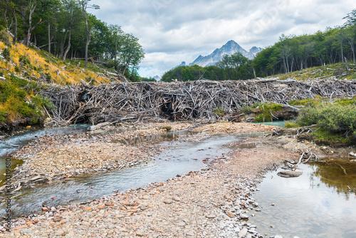 Beaver dam on a track to Laguna Esmeralda in Tierra del Fuego
