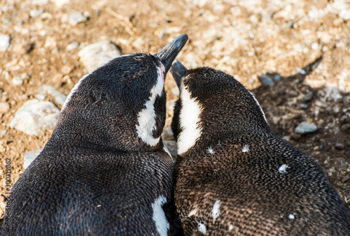 Mother and a young Magellanic penguins in Magdalena island in Chile