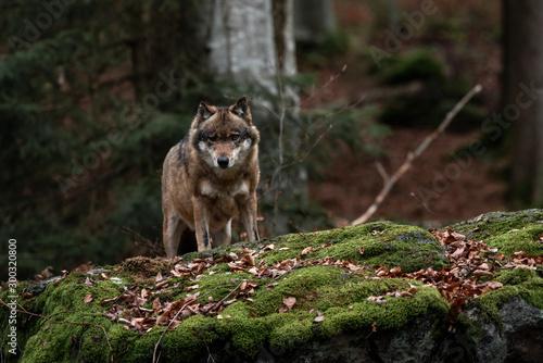 Obraz na plátně Wolf is standing in Bayerischer Wald National Park, Germany