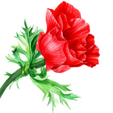 Beautiful Flower, Red Anemone On An Isolated White Background, Watercolor Illustration, Hand Drawing, Botanical Painting