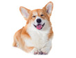 welsh corgi dog smiling on a white background
