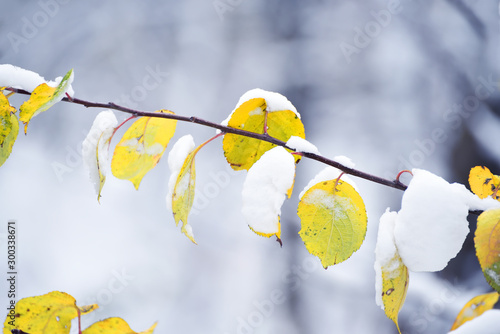 Tree branches with last yellow leaves and first snow. Late autumn in the park. - 300338671