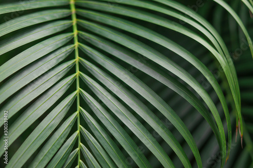 Green betel palm leaves background. Wallpaper Mural