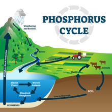Phosphorus Cycle Vector Illustration. Labeled Earth Chemical Element Scheme