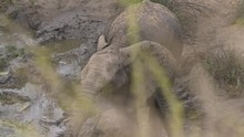 African Elephant Covered In Mud Drinking From Muddy Waterhole, POV Through Grass