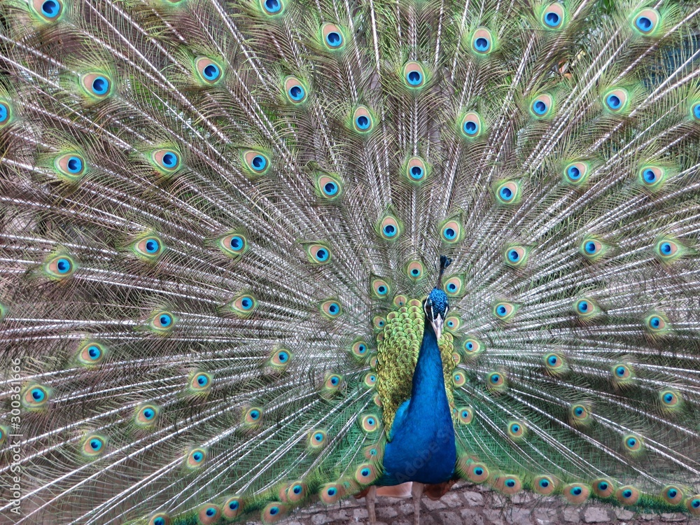 Fototapeta peacock with feathers out