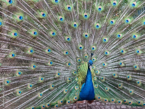 fototapeta na drzwi i meble peacock with feathers out
