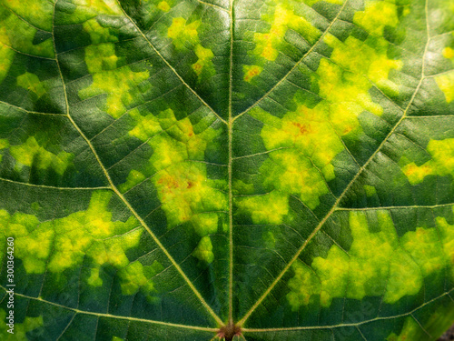 Leaf of Bodhi Colored Like Camouflage Canvas Print