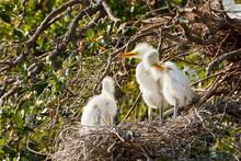 Three Great Egret Chicks In Nest