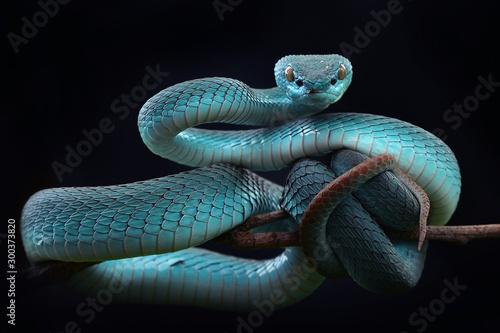 Photo Blue viper Insularis