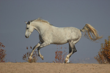 a beautiful white horse gallops against the sky, a white stallion gallops at full speed, strength and power embodied in a horse, between heaven and earth,