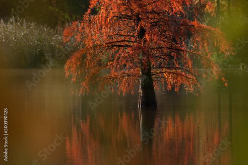 Fond de hotte en verre imprimé Brun profond Reflets de cyprès chauves à l'automne sur l'étang de Boulieu en Isère