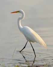 Great Egret In Wading Into The...