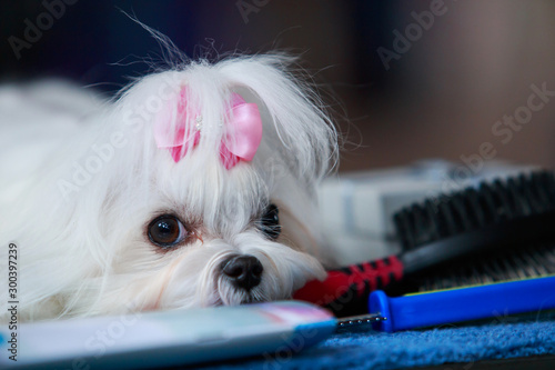 Cute maltese dog Canvas Print