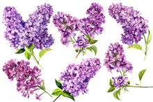 Set Of Lilac Flowers On White ...