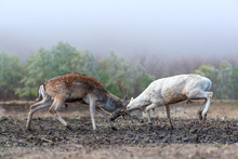 Two Men Deer Fighting With Hor...