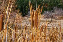Cattails In The Late Autumn Wi...
