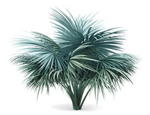 Silver Fan Palm Tree Isolated On White Background