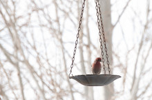 House Finch Sits Alone At The Bird Feeder