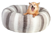 Yawning Chihuahua In A Large Grey And Soft Cushion