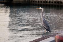 Big Great Blue Heron Walking T...