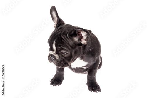 Tender mascot - black french bulldog baby, photo on white background