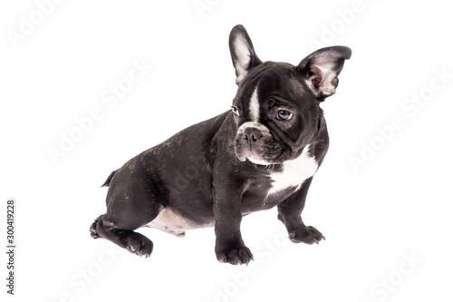 Spoed Fotobehang Franse bulldog Tender mascot - black french bulldog baby, photo on white background
