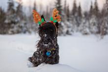 Scottish Terrier Is Posing In ...