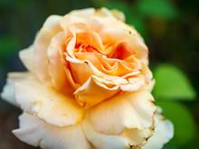 Peach Colored Rose Close Up Focus Shot.