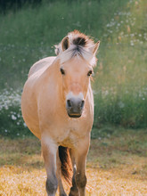 Nordish Fjord Horse From The F...