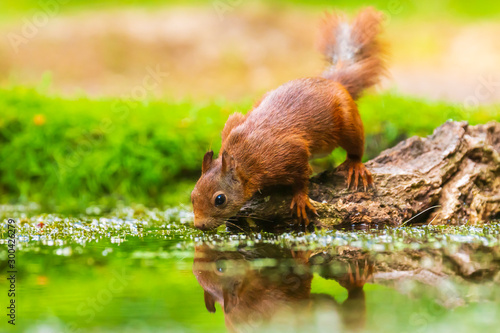 Printed kitchen splashbacks Squirrel Eurasian red squirrel, Sciurus vulgaris, drinking water in a forest pond
