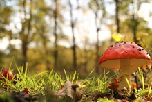 A Wonderful Red Mushroom Closeup Between Green Grass At A Sunny Day In Autumn