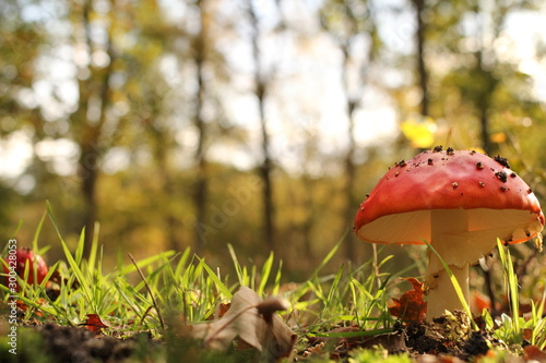 a wonderful red mushroom closeup between green grass at a sunny day in autumn Canvas Print