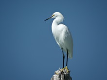 Snowy Egret On Florida Beach Perched On Wood With Sky Background