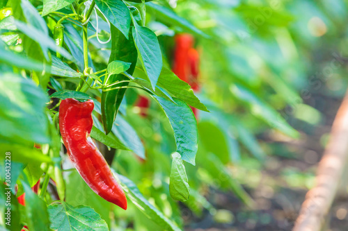 Pinturas sobre lienzo  Professional growth of pointed red sweet Italian peppers
