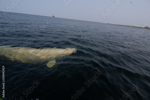 Cuadros en Lienzo beluga whales in the churchill river estuary
