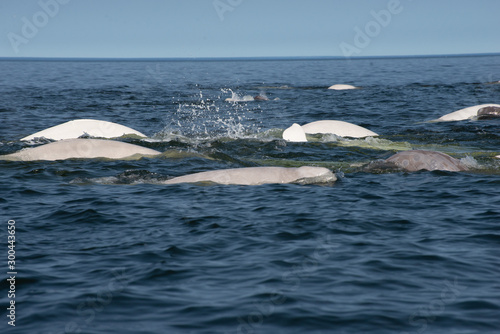 beluga whales in the churchill river estuary Canvas Print