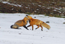 Red Fox Foreplay
