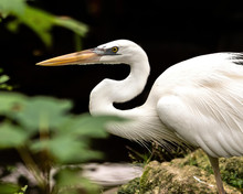 Great Egret Hunting For Breakf...
