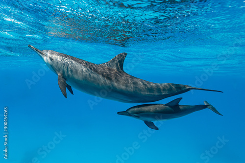 mother and baby  Spinner dolphins (Stenella longirorstris) swimming over sand in Wallpaper Mural