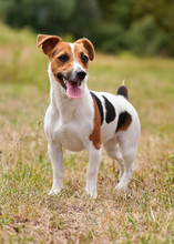 Small Jack Russell Terrier Sta...