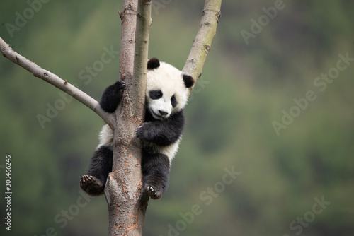giant panda cub in a tree Slika na platnu