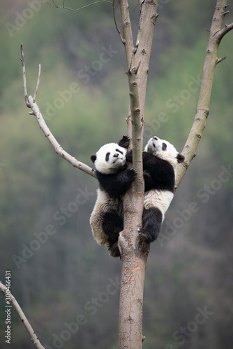 Valokuvatapetti playful giant panda cubs in a tree