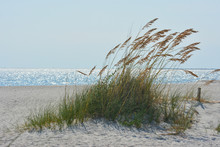 Dune Grass Growing On The Beac...