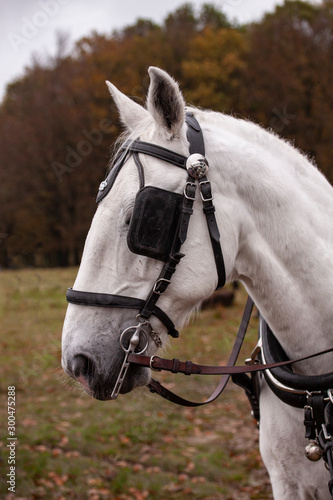 Photo Head of a white horse with blinkers. Close up image