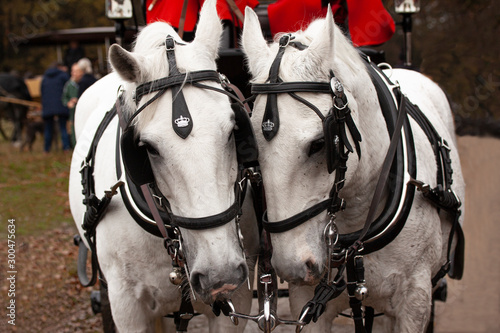 Two white horses with blinkers in front of a Landau carriage driven by two coachmen in red livery uniforms Canvas-taulu